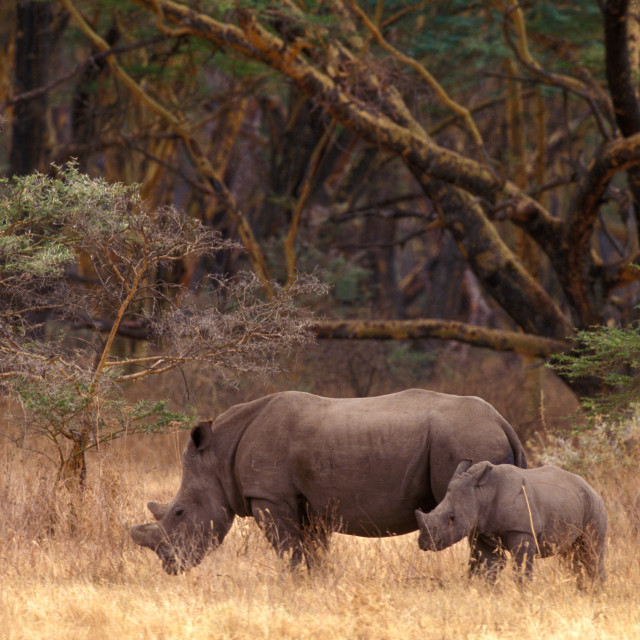 """""""Mother and baby Rhinos"""" stock image"""