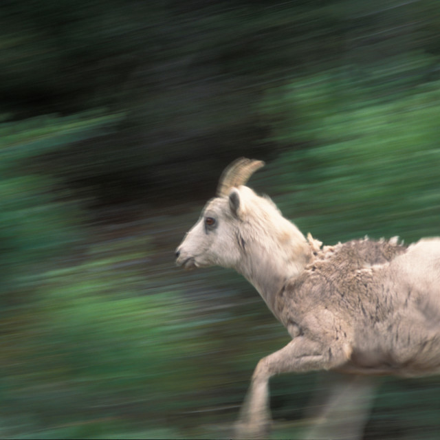 """Baby Mountain Goat, running, Colorado"" stock image"