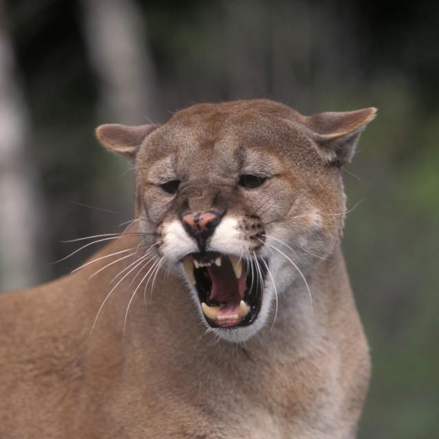 """Mountian Lion growling"" stock image"