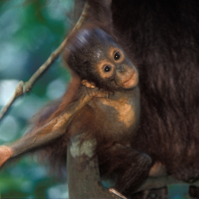 """Orangutan baby"" stock image"