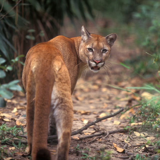 """Puma, Belize"" stock image"