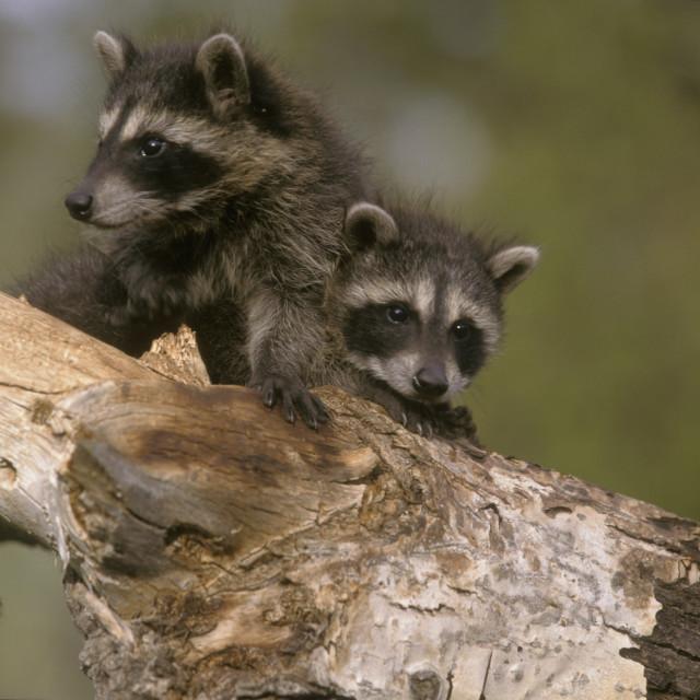 """""""Racoon Babies"""" stock image"""