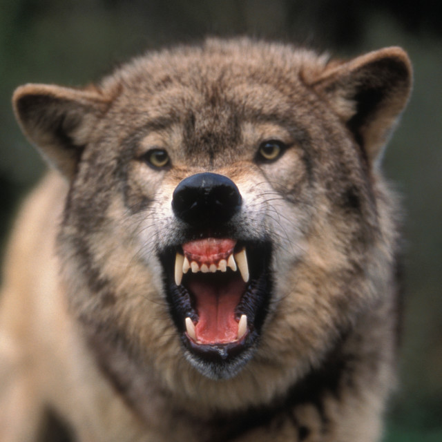"""Snarling Grey wolf"" stock image"