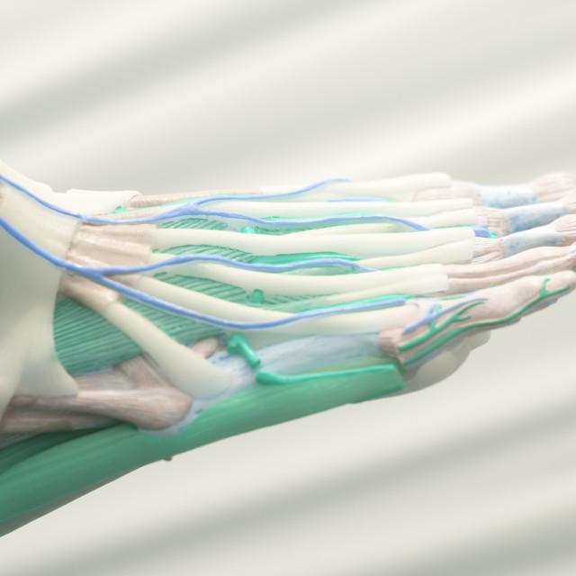 """Human foot toes model"" stock image"