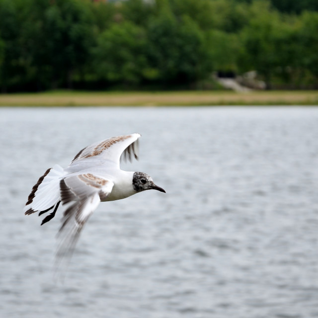 """White seagull flying"" stock image"