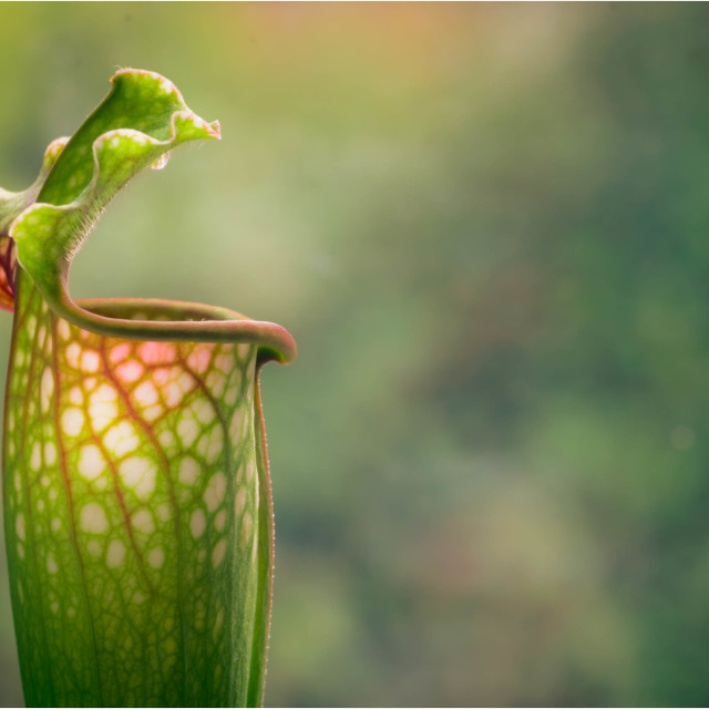 """Pitcher Plant"" stock image"