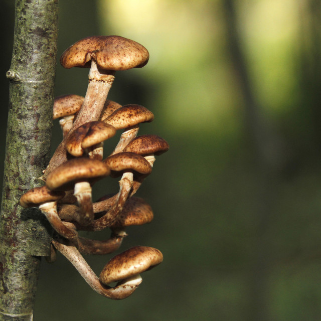 """Honey fungus, Armillaria borealis."" stock image"