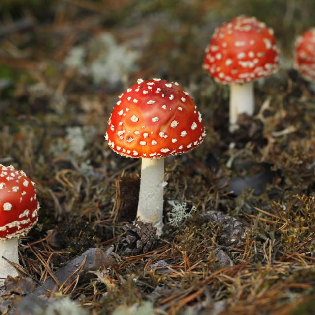 """Red fly agaric mushroom, Amanita muscaria."" stock image"