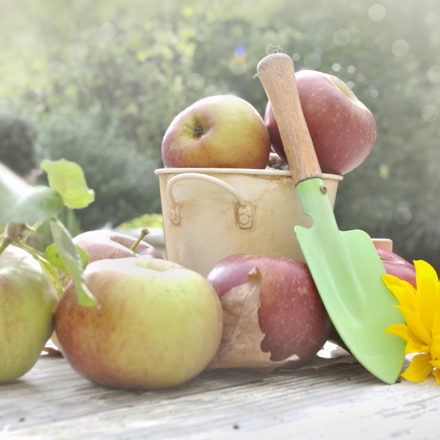 """harvest of apples"" stock image"