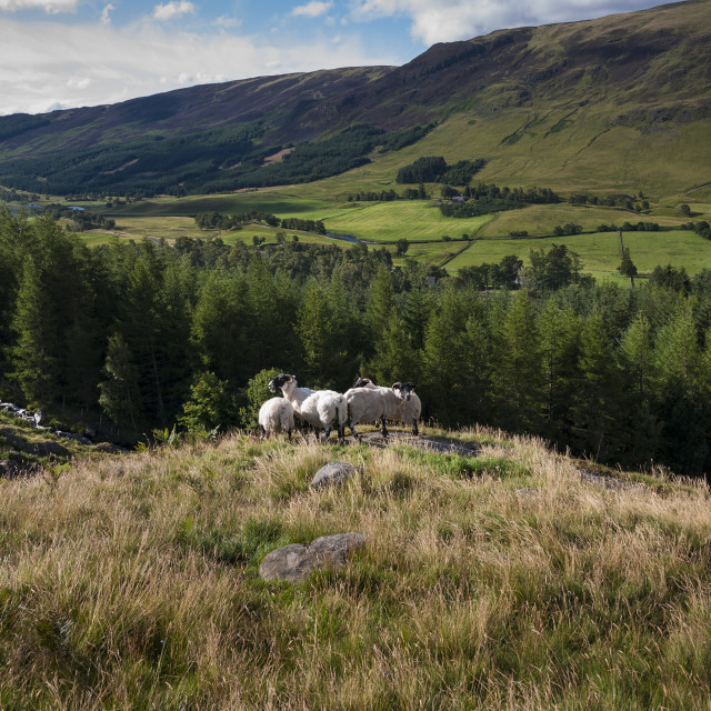 """Group of sheep in a hill in the Highlands of Scotland in the United Kingdom"" stock image"