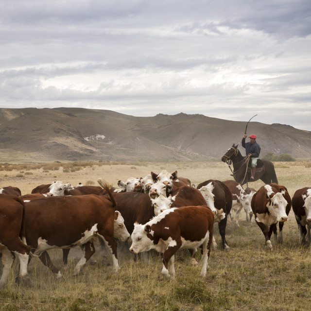 """""""Gauchos with cattle at the Huechahue Estancia, Patagonia, Argentina, South..."""" stock image"""