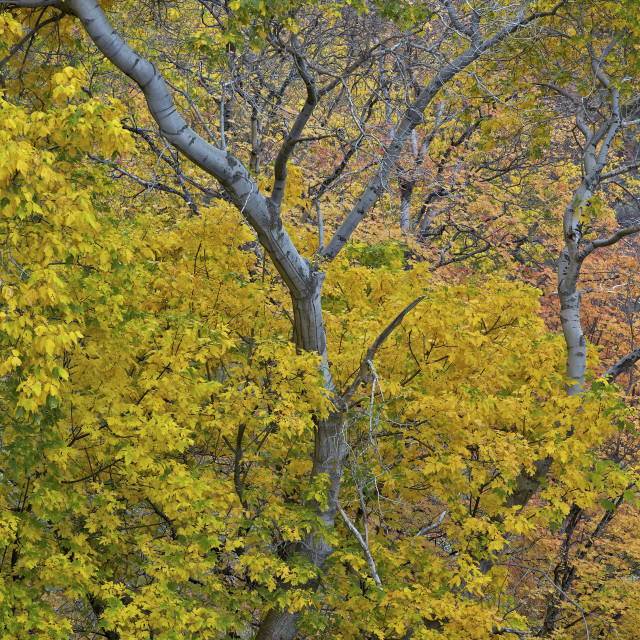 """Box elder (boxelder maple) (maple ash) (Acer negundo) with yellow leaves in..."" stock image"