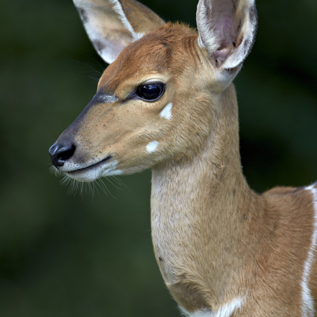 """Young nyala (Tragelaphus angasii), Hluhluwe Game Reserve, South Africa, Africa"" stock image"