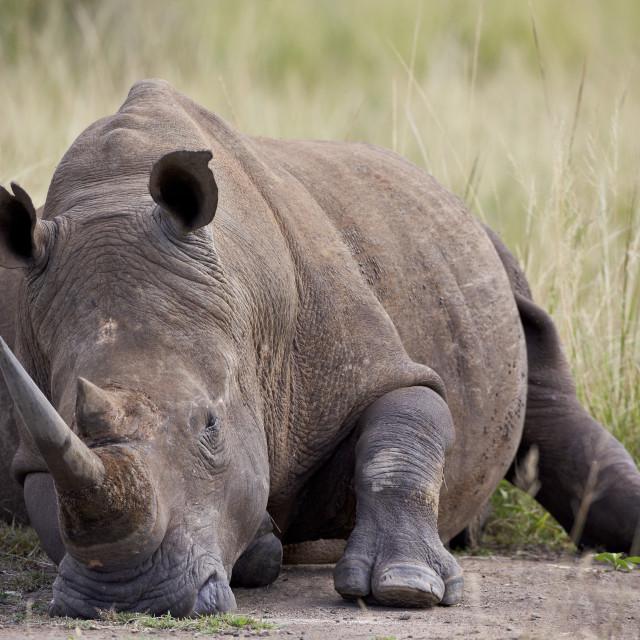 """White rhinoceros (Ceratotherium simum) napping, Hluhluwe Game Reserve, South..."" stock image"