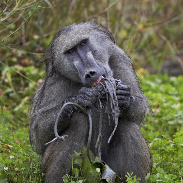 """Adult male Chacma baboon (Papio ursinus) eating a water lily tuber, Kruger..."" stock image"