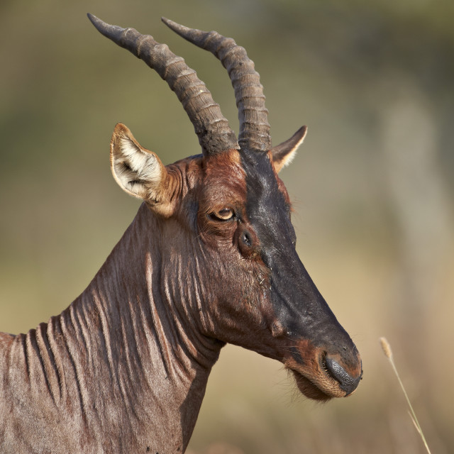 """Topi (tsessebe) (Damaliscus lunatus), Serengeti National Park, Tanzania, East..."" stock image"