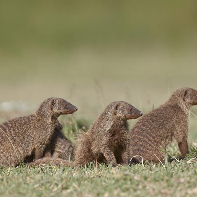 """""""Banded mongoose (Mungos mungo), Serengeti National Park, Tanzania, East..."""" stock image"""