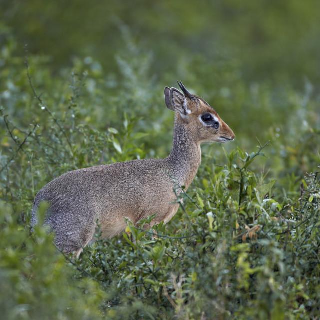 """Male Kirk's dik dik (Kirk's dik-dik) (Madoqua kirkii), Serengeti National..."" stock image"