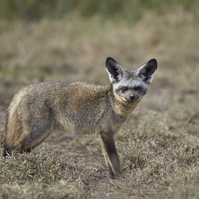 """Bat-eared fox (Otocyon megalotis), Serengeti National Park, Tanzania, East..."" stock image"