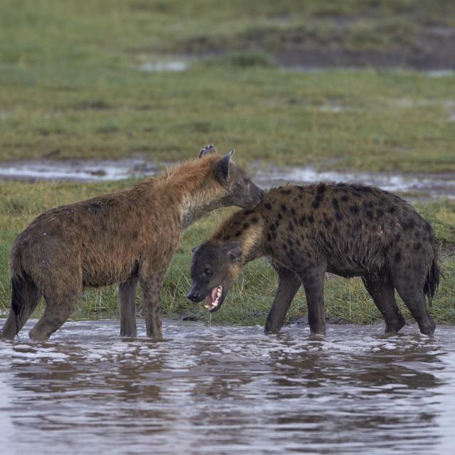"""Two spotted hyena (spotted hyaena) (Crocuta crocuta), Serengeti National..."" stock image"