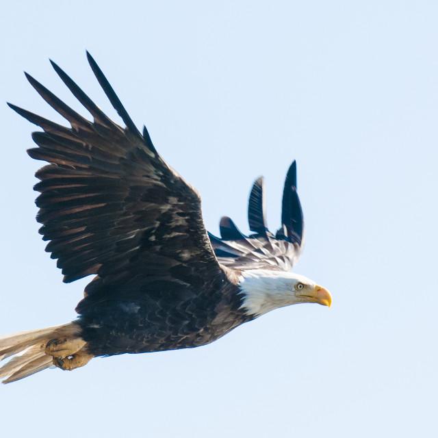 """Bald eagle (Haliaeetus leucocephalus) near Prince Rupert, British Columbia,..."" stock image"