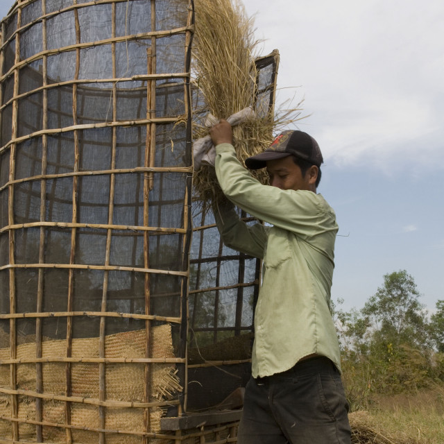 """Rice threshing, Kep, Cambodia, Indochina, Southeast Asia, Asia"" stock image"