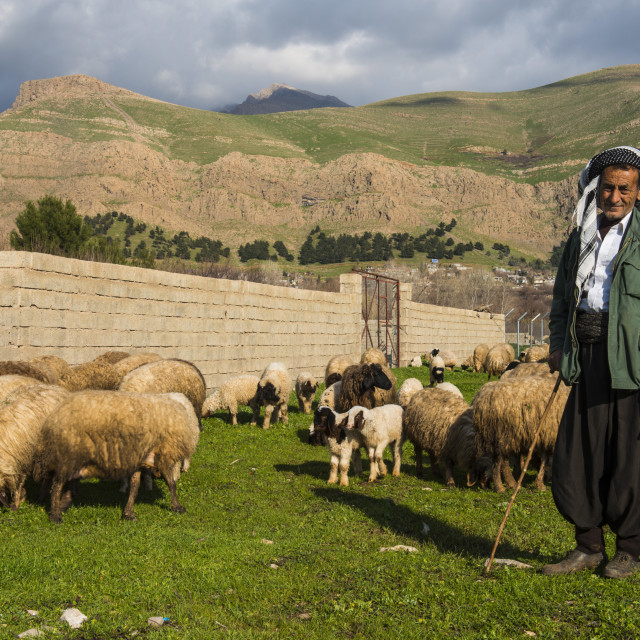 """Shepherd with his herd of sheep in Ahmedawa on the border of Iran, Iraq..."" stock image"