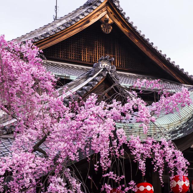 """Cherry blossom tree in the Geisha quarter of Gion, Kyoto, Japan, Asia"" stock image"