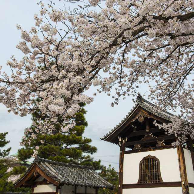 """""""Shrine under cherry blossoms in the Geisha quarter of Gion, Kyoto, Japan, Asia"""" stock image"""