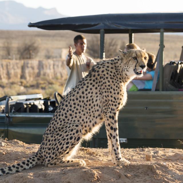 """Safari jeep with people watching cheetah (Acinonyx jubatus) game drive,..."" stock image"