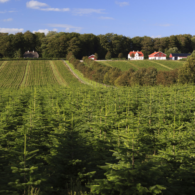 """Norway spruce (Christmas tree) plantation, Ry, Lake District, Jutland,..."" stock image"