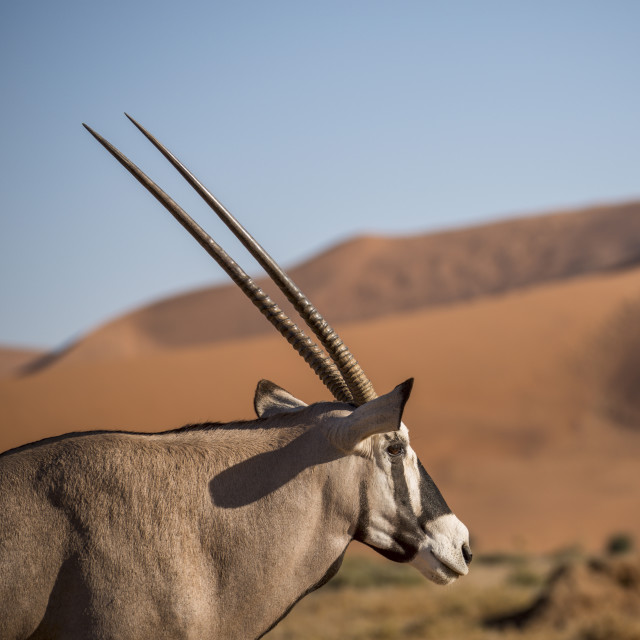 """Gemsbok (Oryx gazella) at Sossusvlei dunes, Namib Naukluft, Namibia, Africa"" stock image"