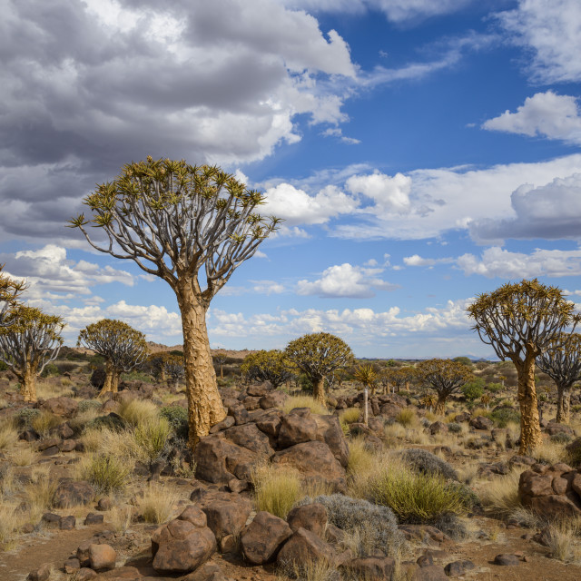 """Quiver trees (kokerboom) (Aloe dichotoma) at the Quiver Tree Forest,..."" stock image"