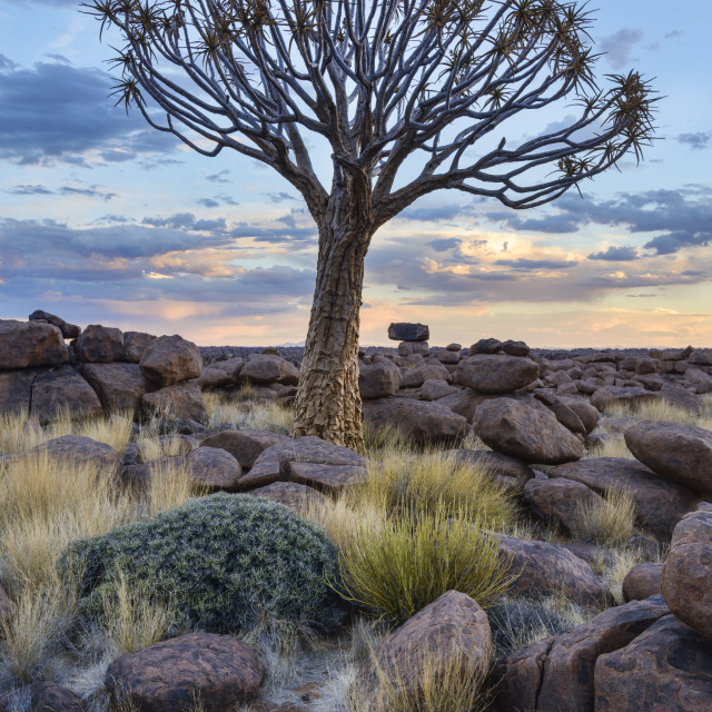 """Quiver tree (kokerboom) (Aloe dichotoma) at sunset in the Giant's Playground,..."" stock image"