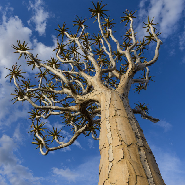 """Quiver tree (kokerboom) (Aloe dichotoma) at the Quiver Tree Forest,..."" stock image"