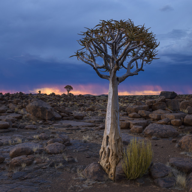 """Quiver trees (kokerboom) and boulders against a fiery and stormy sky in the..."" stock image"