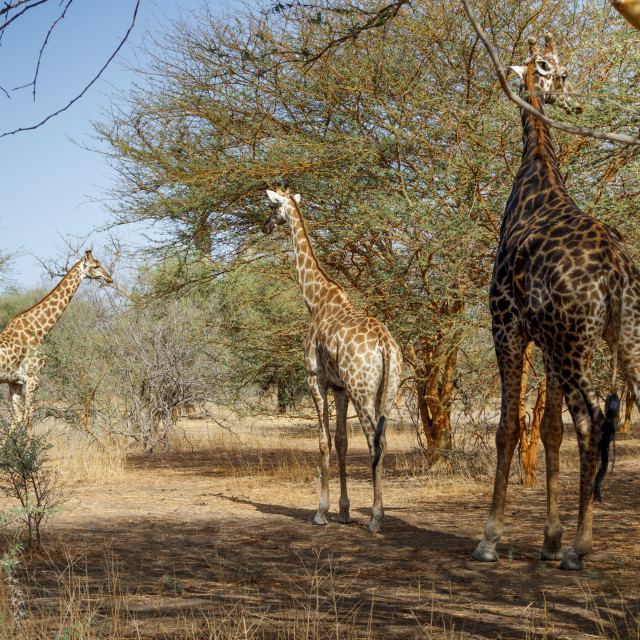 """Giraffe in the wild"" stock image"