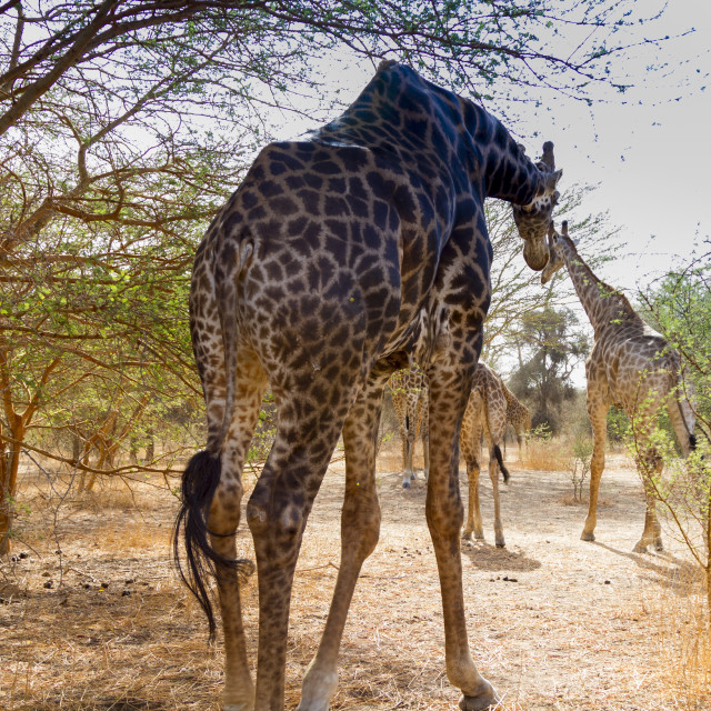 """Giraffes in the bush"" stock image"