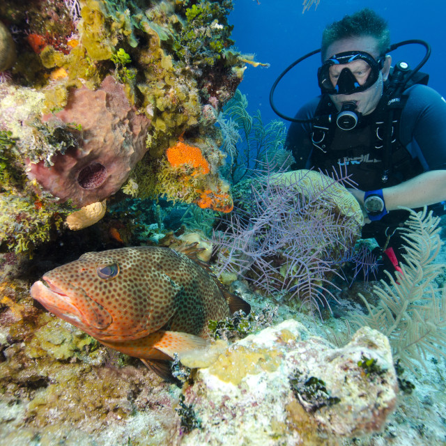 """Diver enjoys watching a grouper hiding in the coral heads in Turks and..."" stock image"