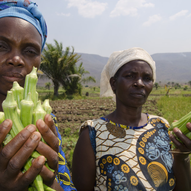"""Local viillagers collect okra crop growing near Talpia Village on Lake..."" stock image"