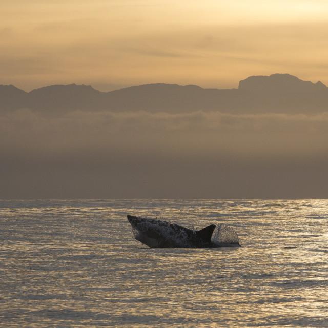 """Great white shark (Carcharodon carcharias), Seal Island, False Bay,..."" stock image"