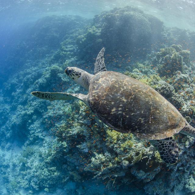 """The critically endangered hawksbill turtle (Eretmochelys imbricata) above..."" stock image"