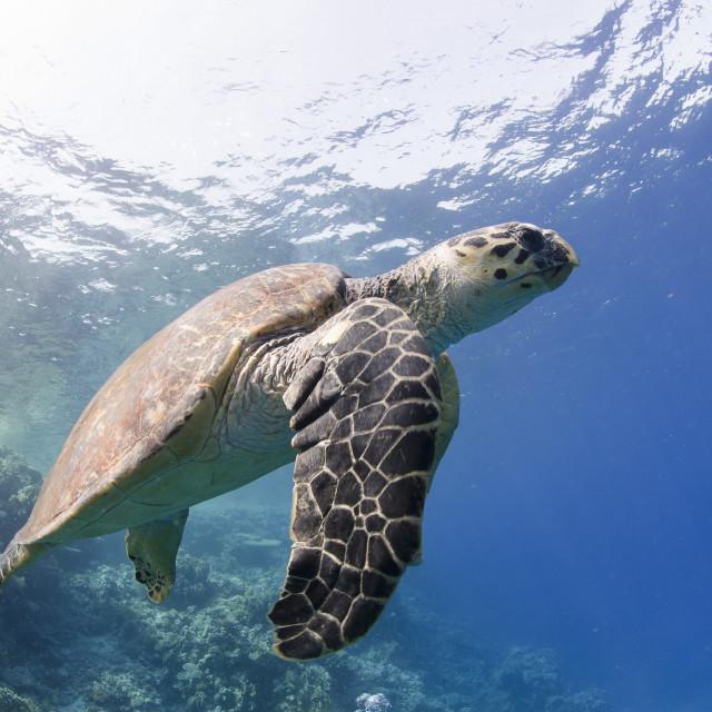 """The critically endangered hawksbill turtle (Eretmochelys imbricata), Ras..."" stock image"