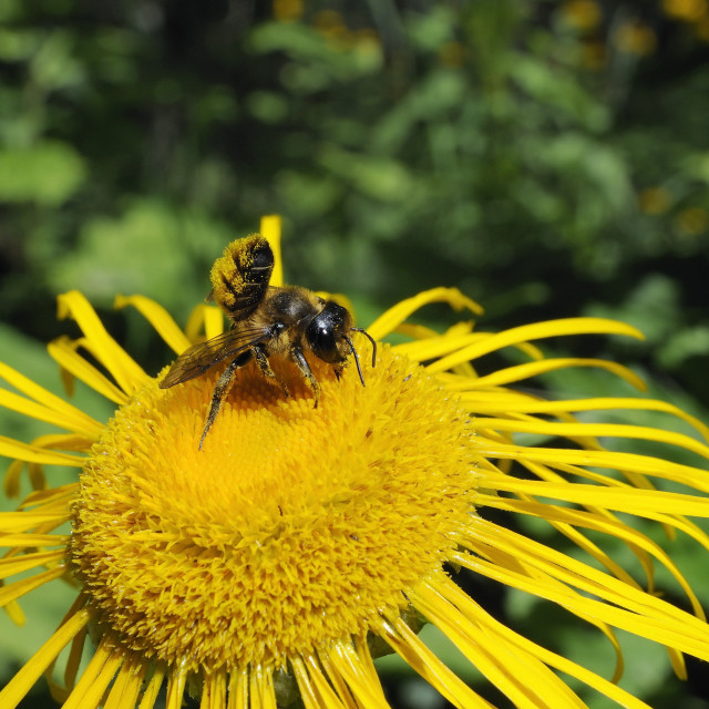 """""""Leafcutter bee (Megachile sp.) feeding from flowerhead of heartleaf oxeye..."""" stock image"""