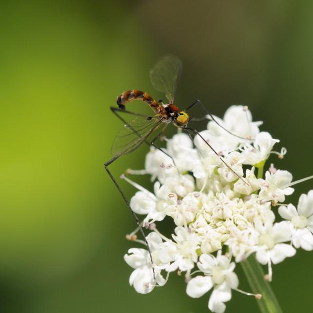 """A rare net-winged midge (Apistomyia elegans) feeding on umbel flowers by an..."" stock image"