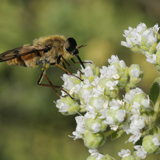 """Horse fly (Pangonius pyritosus) foraging for nectar on Cretan oregano..."" stock image"