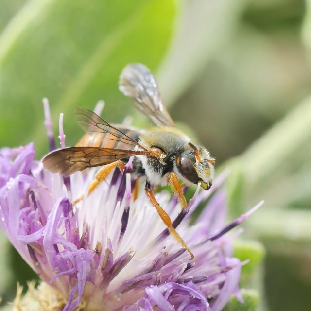 """Leafcutter bee (Rhodanthidium siculum) foraging on round-headed knapweed..."" stock image"
