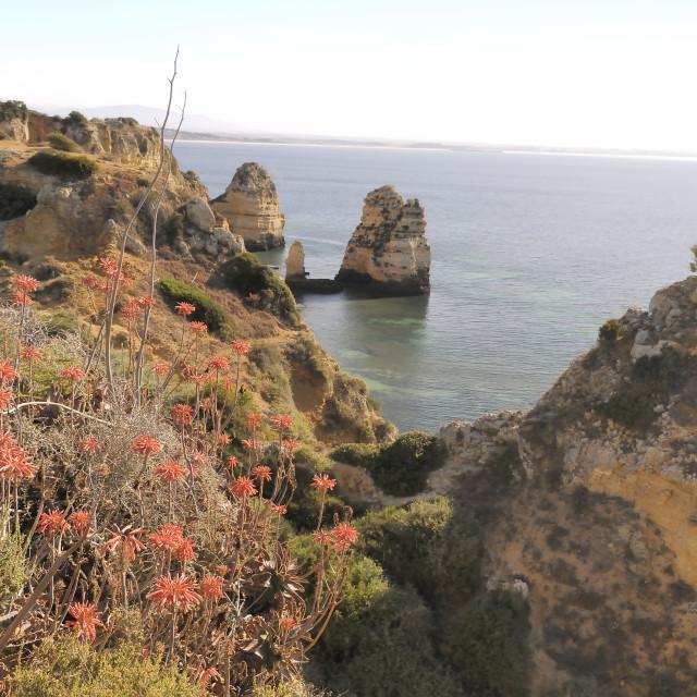 """Soap Aloe (Aloe maculata Aloe saponaria) succulent flowering on a clifftop,..."" stock image"