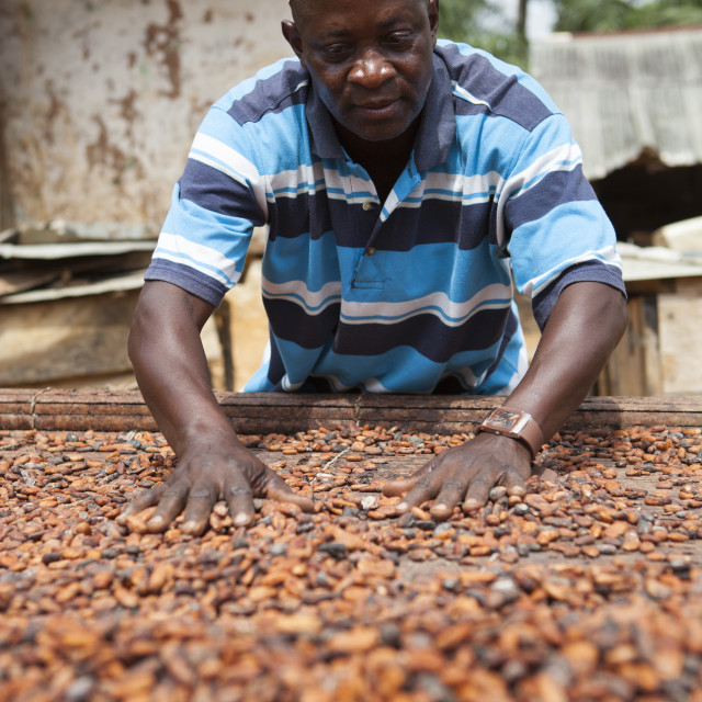 """""""A cocoa farmer spreading out some cocoa beans on bamboo matting to dry in the..."""" stock image"""