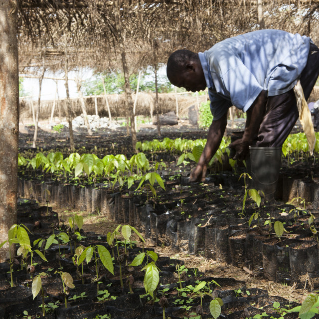 """""""A man tends to small cocoa trees at a cocoa nursery in Ghana."""" stock image"""